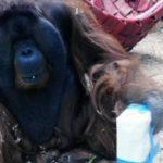 150727203607-orangutan-kisses-pregnant-mothers-stomach-moos-dnt-erin-00001906-large-169