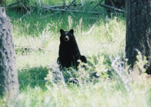 A two-year old black bear sits on its haunches watching  people disturbing its midday nap.