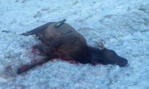 Bull_Elk