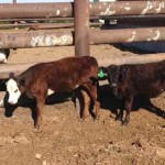 Cows_Courtesy