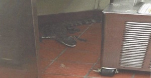 A South Florida man was taken into custody after he was accused of placing an order at a Wendy's in Royal Palm Beach, Florida, taking his drink and then pitching in a three-and-a-half foot gator through the drive-thru window when the server turned around.