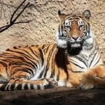 "Sacramento Zoo officials say a 15-year-old Sumatran tiger died Wednesday as a result of its wounds after it was attacked by another tiger. The attack happened Wednesday morning during a ""physical introduction"" between the female, Baha, and the male tiger, Mohan. The zoo was attempting to breed the two tigers."
