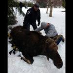 Moose_Loose02