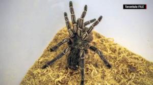 tarantula file
