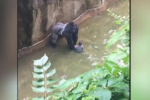 Harambe-with-4-year-old-boy