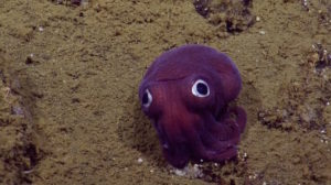 The Nautilus Live team spotted this Stubby Squid off the coast of California at a depth of 900 meters (2,950 feet). Rossia pacifica looks like a cross between an octopus and squid, but is more closely related to cuttlefish. This species spends life on the seafloor, activating a sticky mucus jacket and burrowing into the sediment to camouflage, leaving their eyes poking out to spot prey like shrimp and small fish.