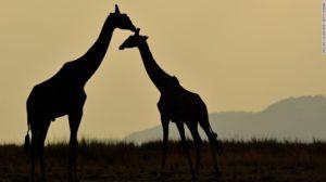 161208105802-03-giraffe-red-list-endangered-exlarge-tease
