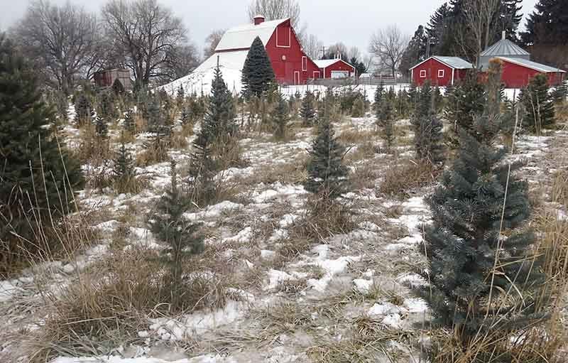 Where To Get A Fresh-cut Christmas Tree In East Idaho